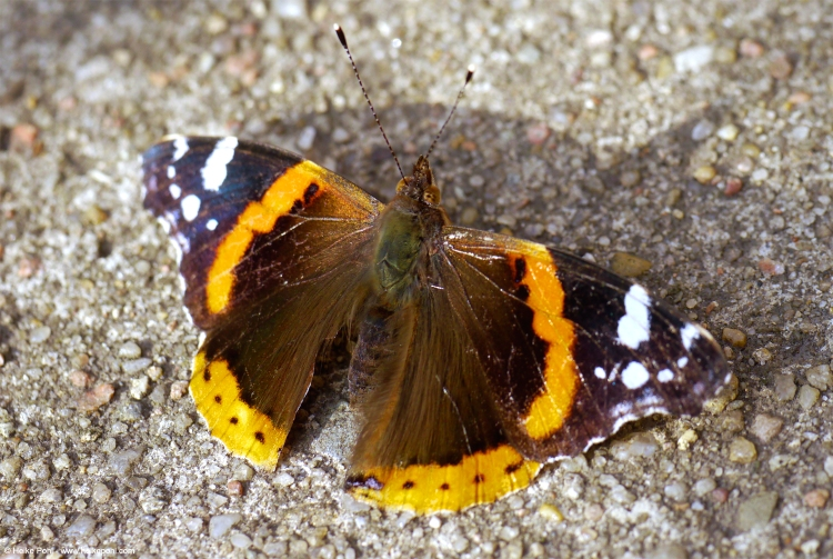 Schmetterling 001