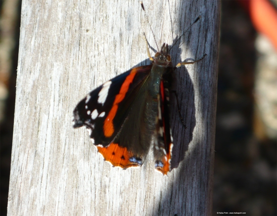 Schmetterling 002