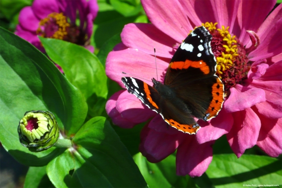 Schmetterling 004