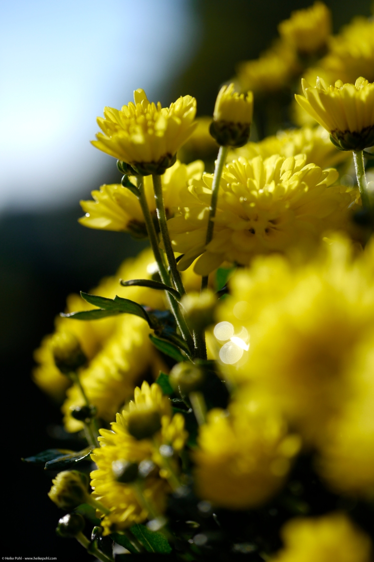 ChrysanthemenimGegenlicht