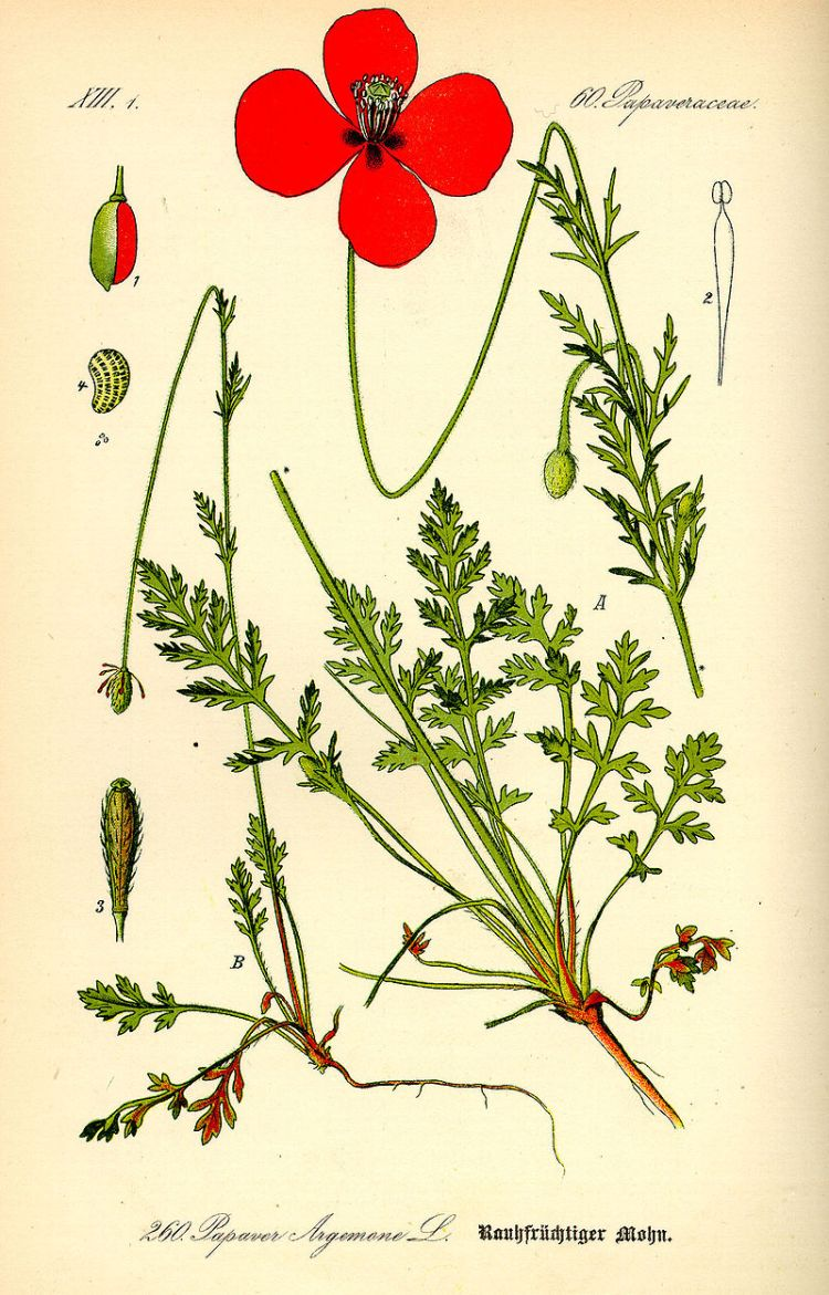 800px-Illustration_Papaver_argemone0